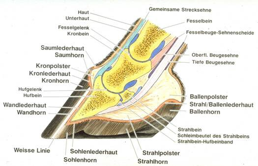 HUFJACKY Löhningen - Hufpflege   Anatomie des Hufes